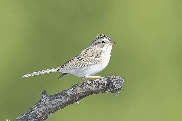 Brewer's Sparrow at Quiet Hill Ranch