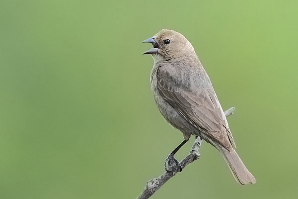 Brown-headed Cowbird Female at Quiet Hill Ranch