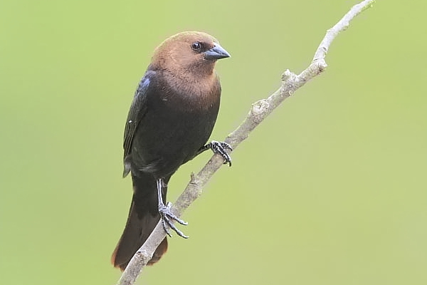 Brown-headed Cowbird male at Quiet Hill Ranch