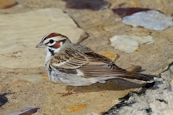 Lark Sparrow at Quiet Hill Ranch
