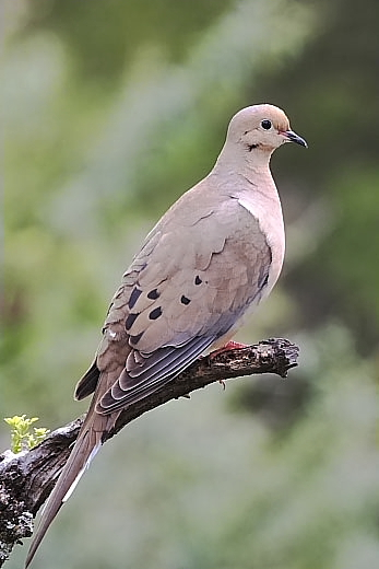 Mourning Dove at Quiet Hill Ranch