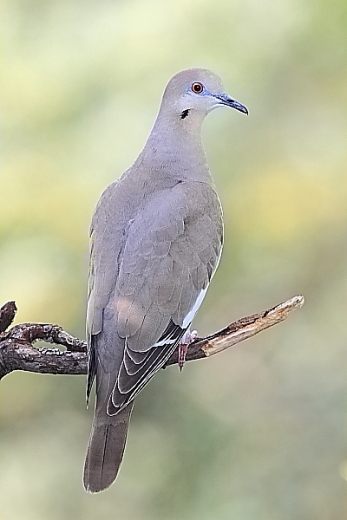 White-winged Dove at Quiet Hill Ranch