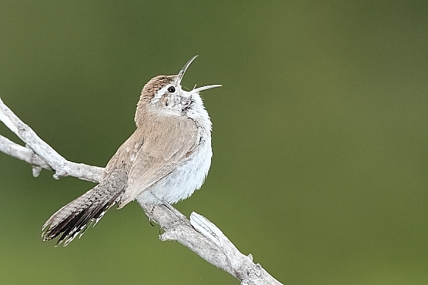 Bewick's Wren at Quiet Hill Ranch