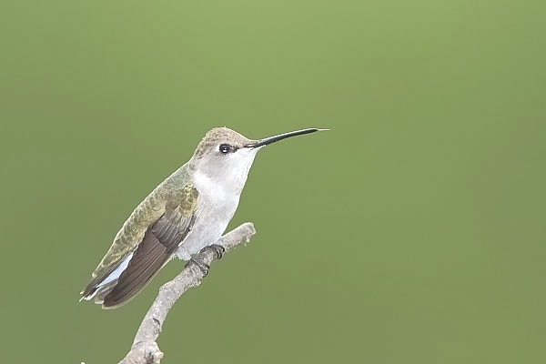 Black-chinned Hummingbird Female at Quiet Hill Ranch