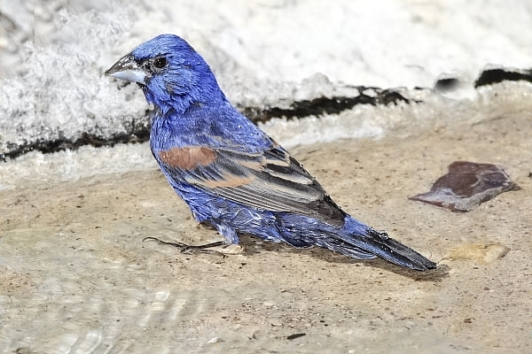 Blue Grosbeak Male at Quiet Hill Ranch
