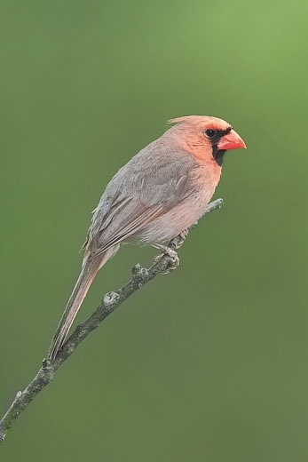 Northern Cardinal Male at Quiet Hill Ranch