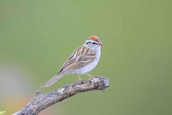 Chipping Sparrow at Quiet Hill Ranch