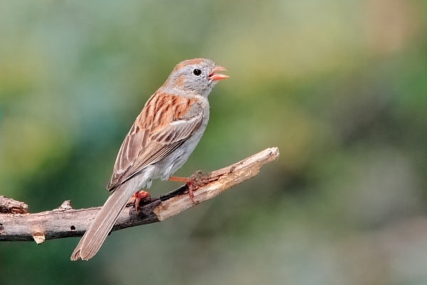 Field Sparrow at Quiet Hill Ranch