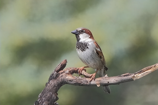 House Sparrow at Quiet Hill Ranch