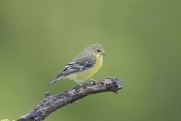 Lesser Goldfinch female at Quiet Hill Ranch