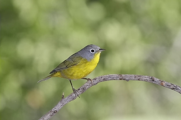 Nashville Warbler male at Quiet Hill Ranch