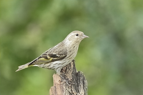 Pine Siskin at Quiet Hill Ranch