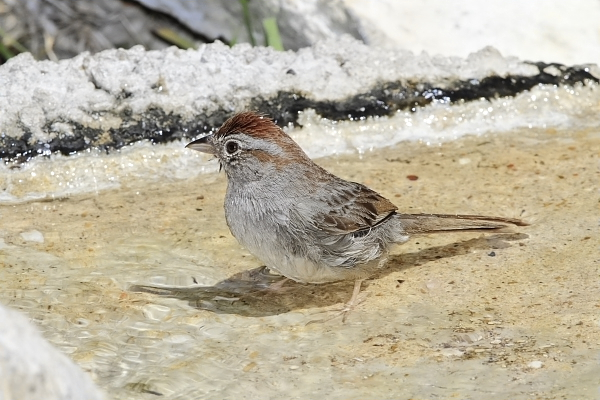 Rufous-crowned Sparrow at Quiet Hill Ranch