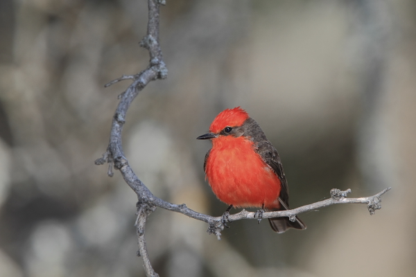 Vermilion Flycatcher male at Quiet Hill Ranch