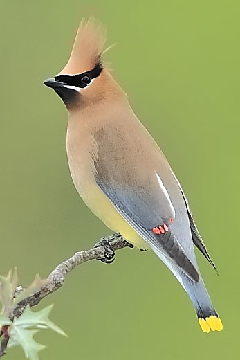 Waxwing at Quiet Hill Ranch