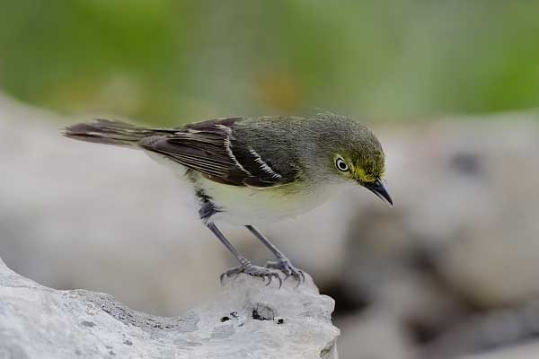 White-eyed Vireo female at Quiet Hill Ranch