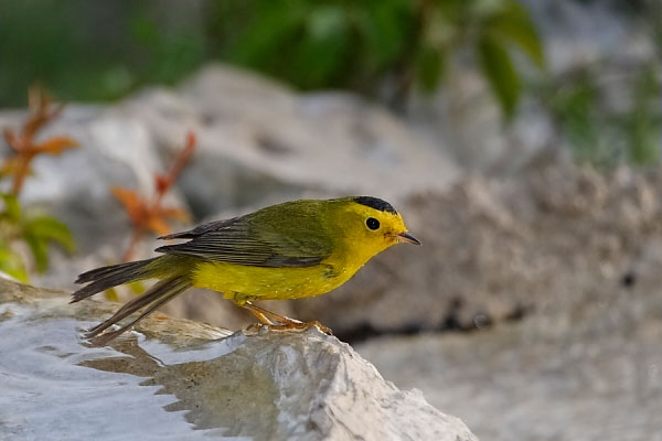 Wilson's Warbler Male at Quiet Hill Ranch