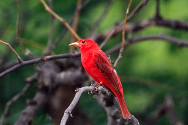 Summer Tanager - Texas