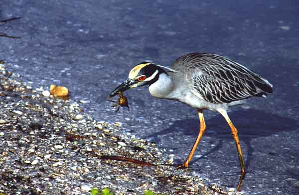 Yellow-crowned Night-Heron - Flydrive