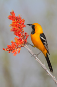 Hooded Oriole - Arizona