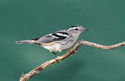 Black & White Warbler (Female) - Quiet Hill Ranch