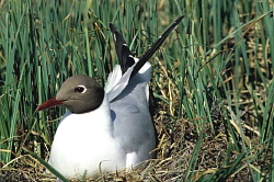 Black-headed Gull - Seabirds