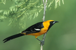 Hooded Oriole - Texas