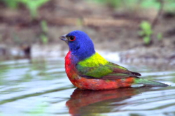 Painted Bunting - Texas